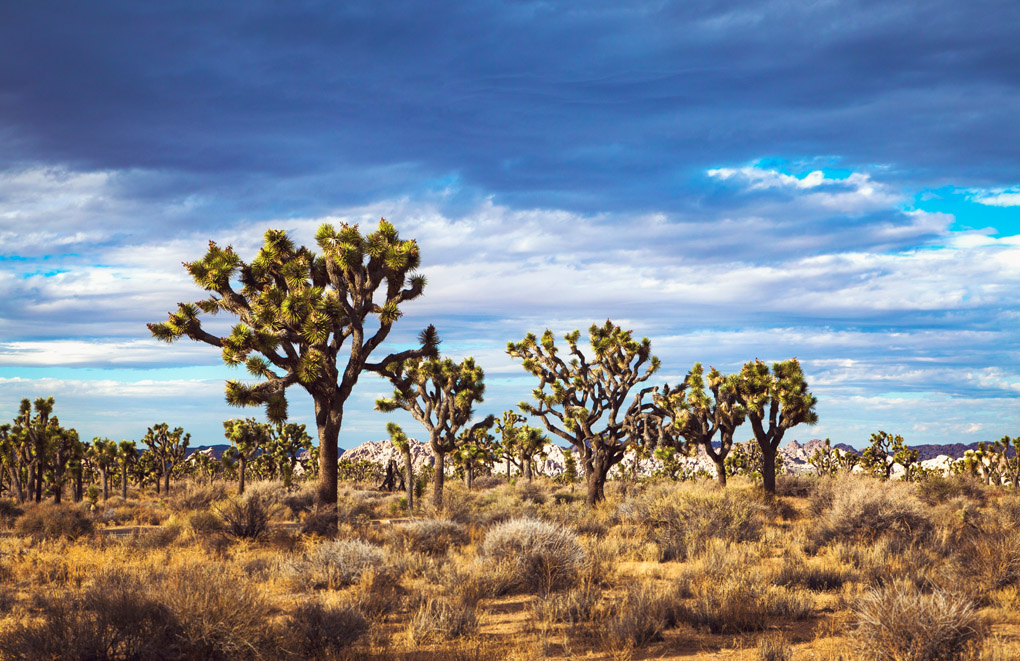 Joshua Tree National Park -  California, USA